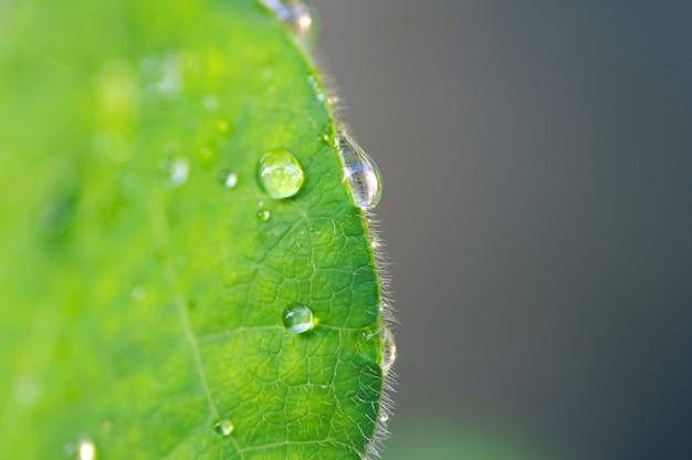 Gouttelettes d'eau sur une feuille de gelée verte