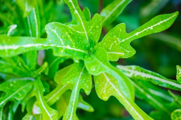 Gouttelettes d'eau sur les feuilles pendant la saison des pluies