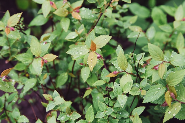 Gouttelettes de pluie sur les feuilles vertes en été