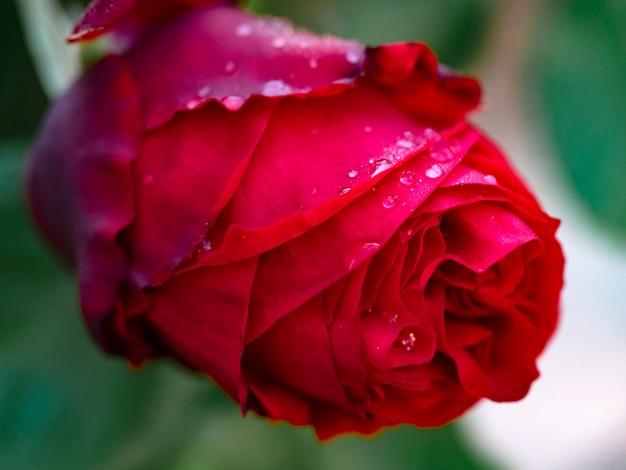 Gouttelettes sur une rose rouge