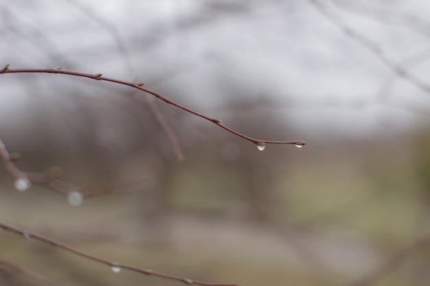 Gouttes d'eau après la pluie sur les branches d'arbres