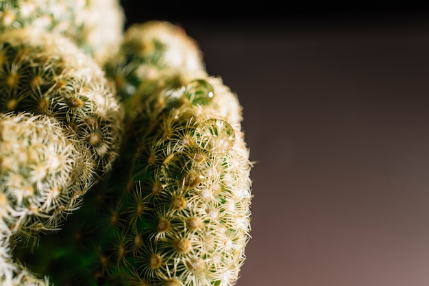 Gouttes d'eau sur cactus