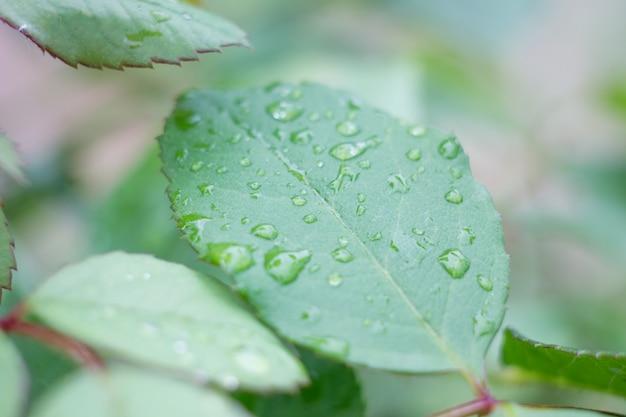 Gouttes d'eau sur une feuille verte, feuilles de rose mouillées après la pluie