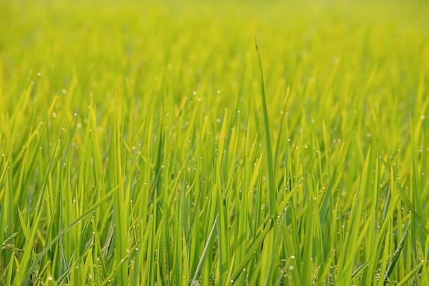 Gouttes d'eau sur les feuilles de riz dans le champ