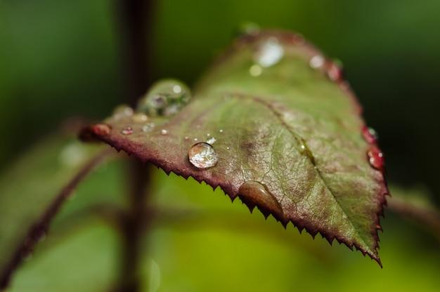 Gouttes de pluie sur les feuilles de rose verte close-up.