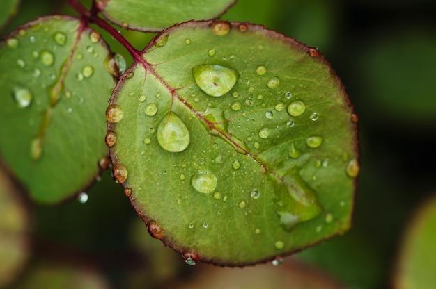 Gouttes de pluie sur les feuilles de roses vertes close-up