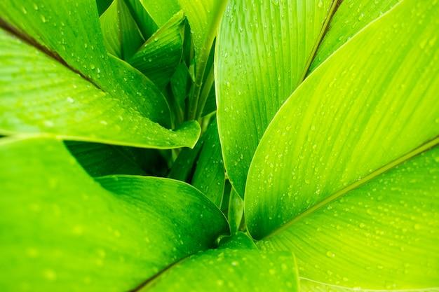 Gouttes de pluie sur les feuilles (strelitzia ou feuilles de l'oiseau de paradis)