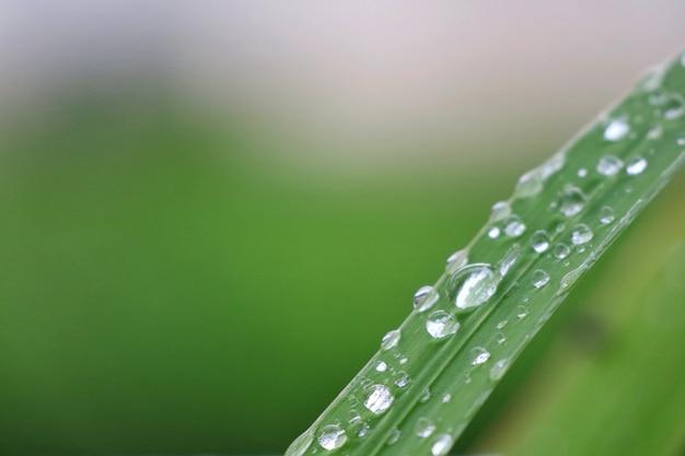 Gouttes de pluie sur les feuilles vertes après la pluie au printemps.