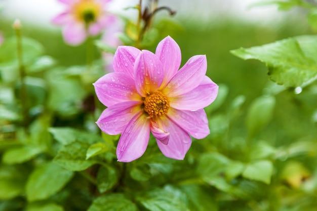 Gouttes de pluie sur une fleur rose, détail d'une belle fleur rose avec des gouttes de pluie