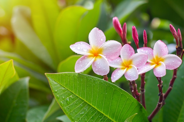 Gouttes de pluie sur les fleurs de plumeria blanc