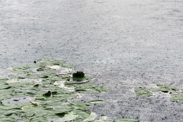 Gouttes de pluie et nénuphars à la surface du lac
