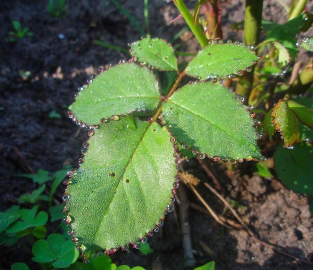 Gouttes de rosée sur une feuille verte