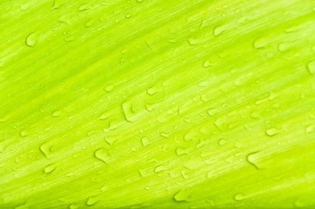 Gouttes de rosée sur les feuilles vertes, texture de la feuille verte pour le fond