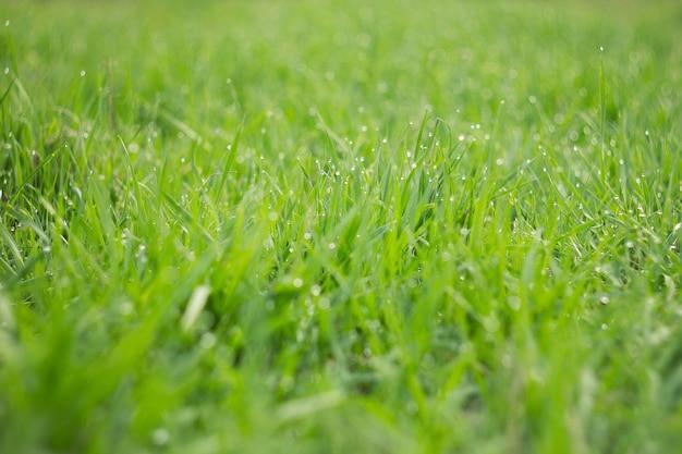 Gouttes de rosée sur l'herbe verte jeune. herbe printanière verte fraîche avec rosée gouttes agrandi.