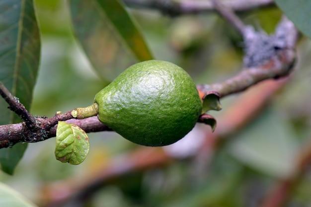 Goyave ou araca dans un arbre