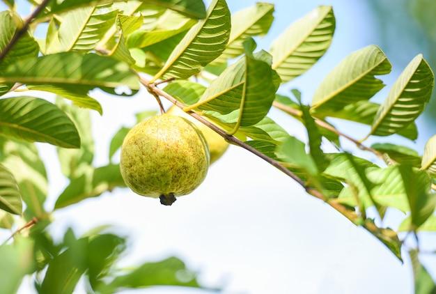 Goyave de fruits tropicaux mûrs sur goyavier