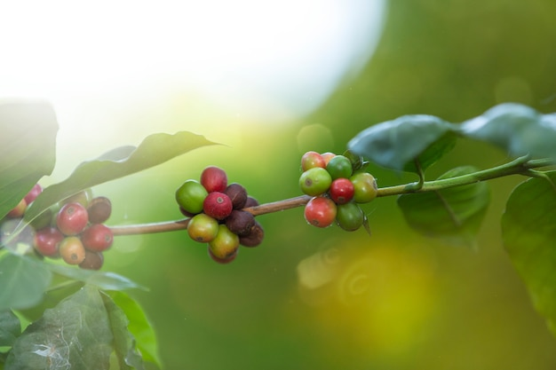 Grain de café rouge cerise sur branche.