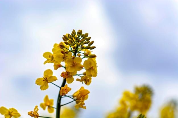 La graine de colza fleurit sur un ciel bleu avec des nuages blancs.