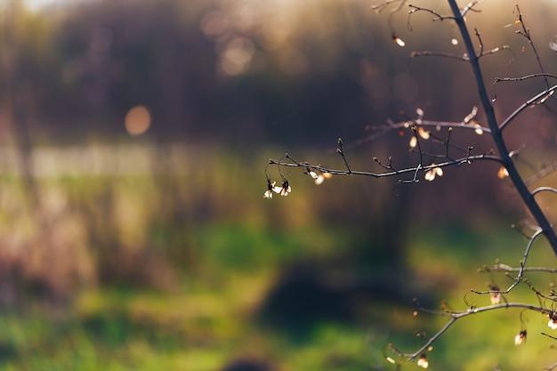 Graine transparente érable au coucher du soleil au début du printemps