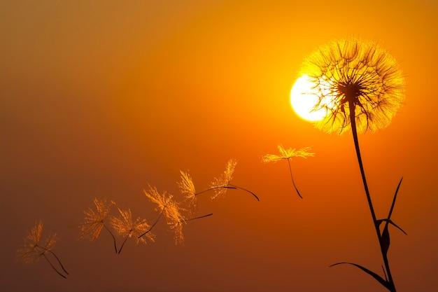 Les graines de fleurs de pissenlit volent sur fond de soleil du soir et de ciel coucher de soleil. botanique florale de la nature