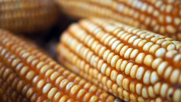 Les graines de maïs crues ou les grains de maïs sont les fruits du maïs. grains de maïs mûr.