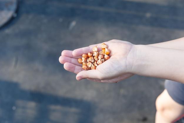 Graines de maïs jaune dans la main des enfants. ils seront emprisonnés.