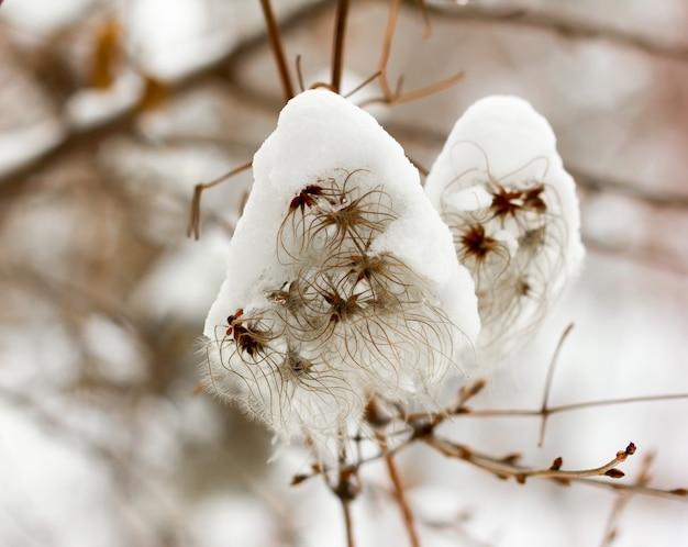 Graines moelleuses de clématite grimpante parsemées de neige blanche