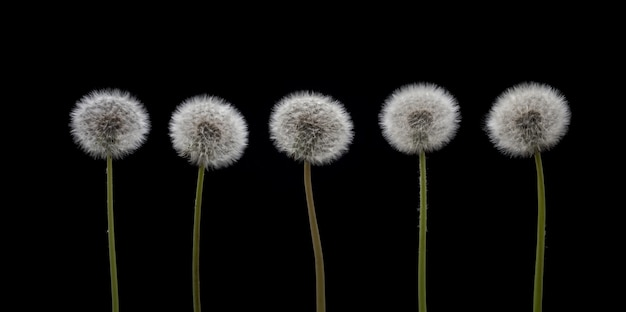 Graines de pissenlit. cinq fleurs de pissenlit sur fond noir.