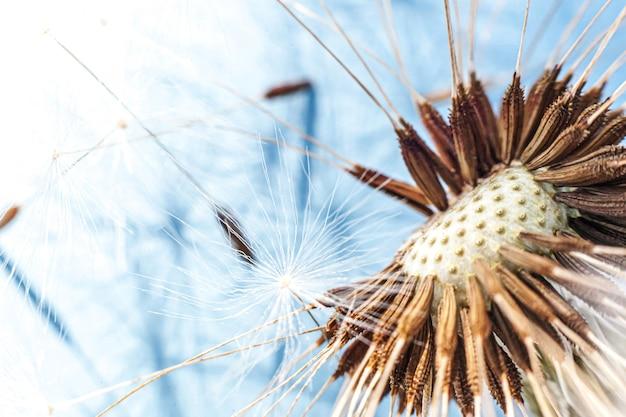 Graines de pissenlit dans le champ d'été vent sur fond bleu