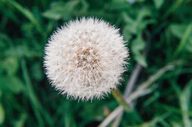 Graines de pissenlit dans le vent dans le champ d'été. changer le mouvement de croissance et le concept de direction. jardin ou parc floral printanier naturel ou source d'inspiration. paysage nature écologie.