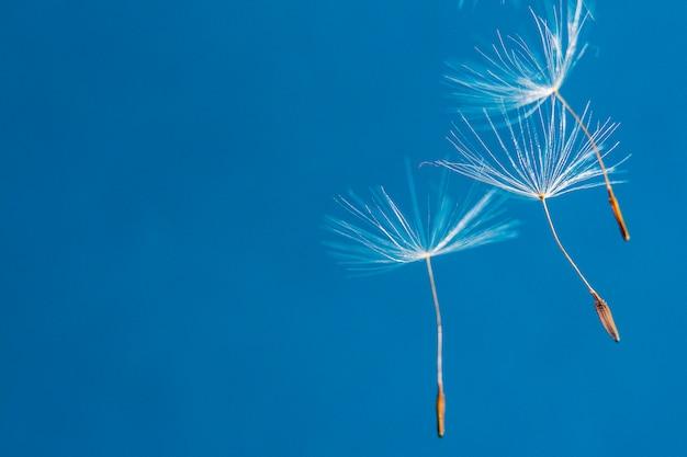 Graines de pissenlit volantes sur un bleu /