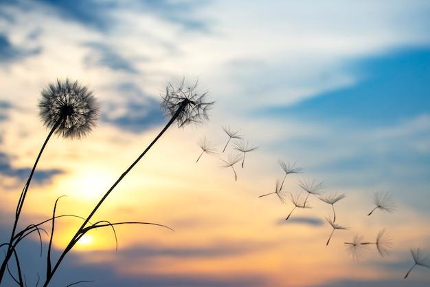 Les graines de pissenlit volent sur fond de ciel coucher de soleil. botanique florale de la nature