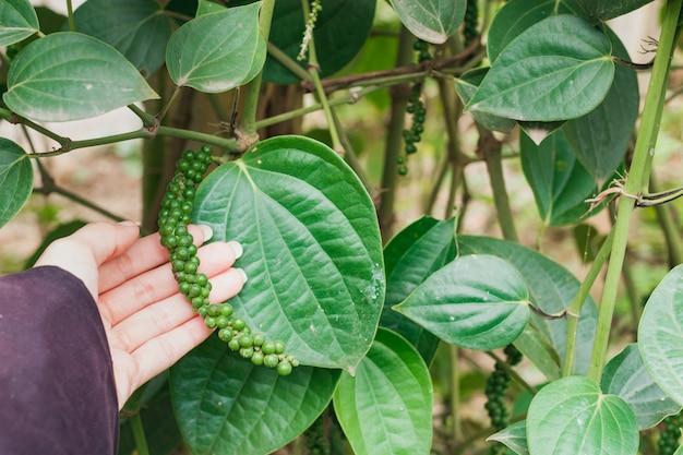 Graines de poivron vert frais piper nigrum d'un arbre à portée de main