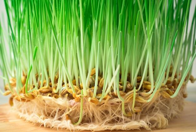 Grains de blé germés avec germes et racines. vue de côté. le concept d'aliments sains, superfoods.
