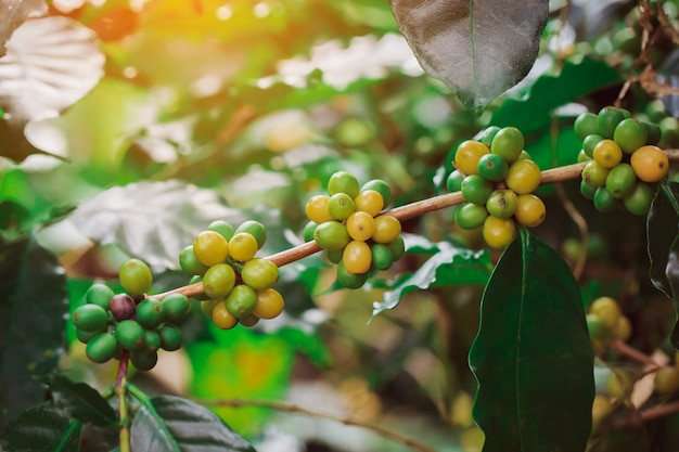 Grains de café arabica couleur jaune mûrissant sur un arbre catimor