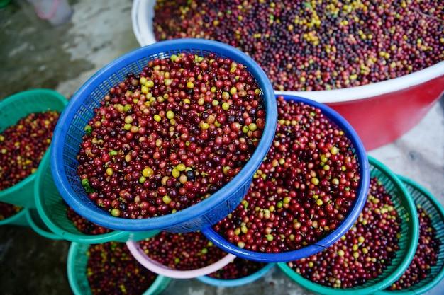Grains de café arabica qui ont été lavés et séparés pour attendre le processus de blanchiment.