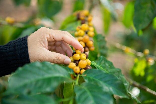 Grains de café sur l'arbre dans la ferme