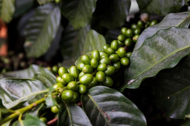 Grains de café sur un arbre avec flou artistique et plus de lumière en arrière-plan