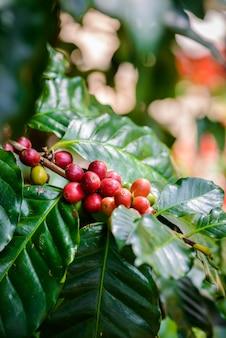 Grains de café sur l'arbre