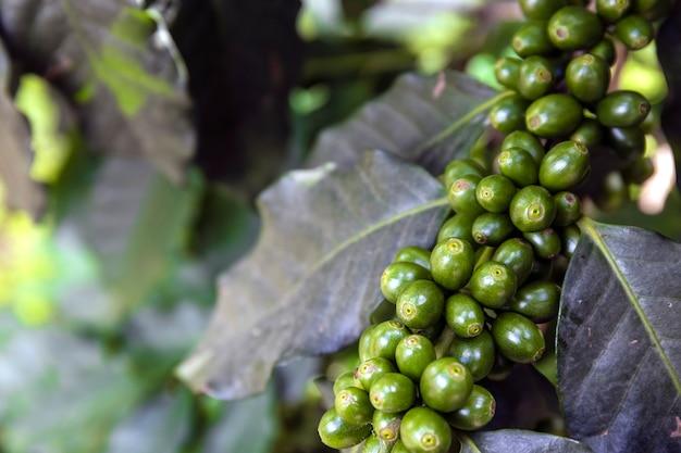 Grains de café sur un arbre