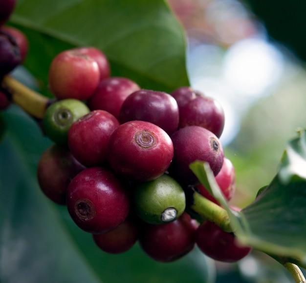 Les grains de café sur les arbres se bouchent