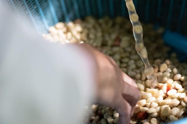 Grains de café biologiques bruts lavant dans le traitement du café