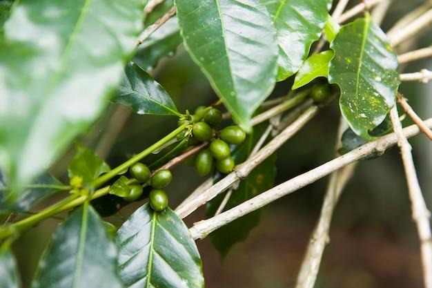 Grains de café sur une branche de caféier avec des feuilles