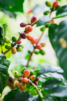 Grains de café sur la branche. robusta café.
