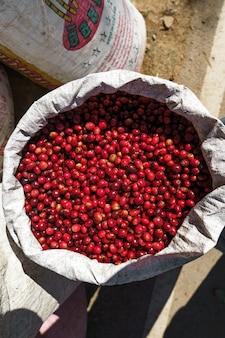 Grains de café cerise, café rouge dans le sac et sur la main