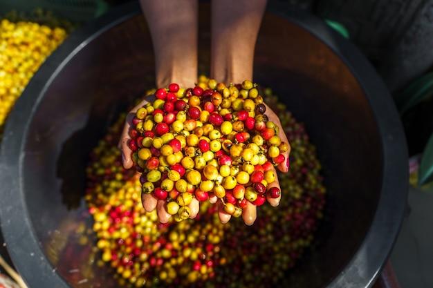 Grains de café cerise tri, café rouge et jaune dans la cuve de tri