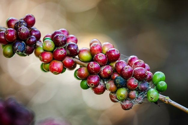Grains de café crus et feuilles vertes à la zone agricole de la montagne chiang rai thaïlande