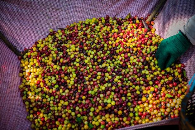 Grains de café crus frais des terres agricoles dans le panier de l'agriculteur