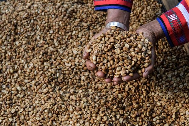 Grains de café crus triés entre les mains des agriculteurs
