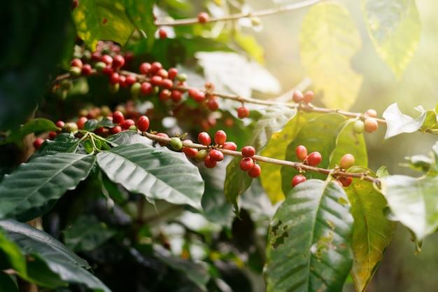 Grains de café frais sur des arbres en grappe.